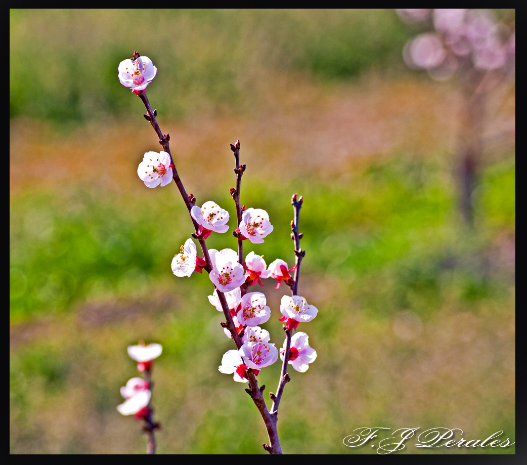 olor de primavera