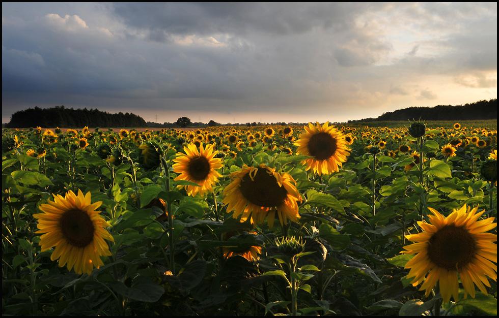 olympische Sonnenblumen