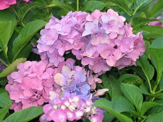 Oma's Blume