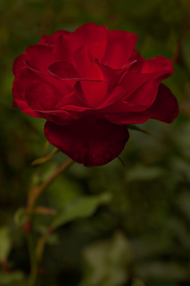 Oma^s Garten* noch ne Rose