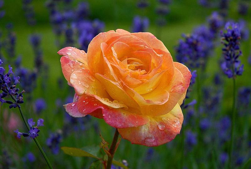 Omas Rose und Lavendel - nach dem Unwetter...