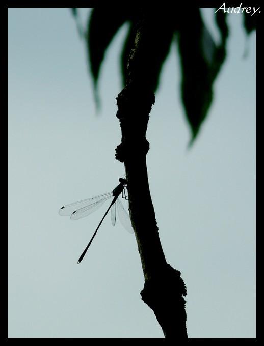 Ombre libellule