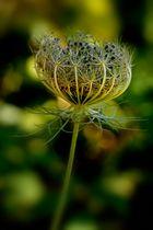 Ombrellifera - semi di Daucus carota