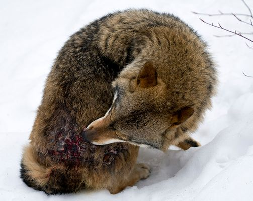 Omega-Wolf
