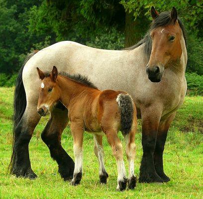 On the farm (13) : Ardennes Draft Horse