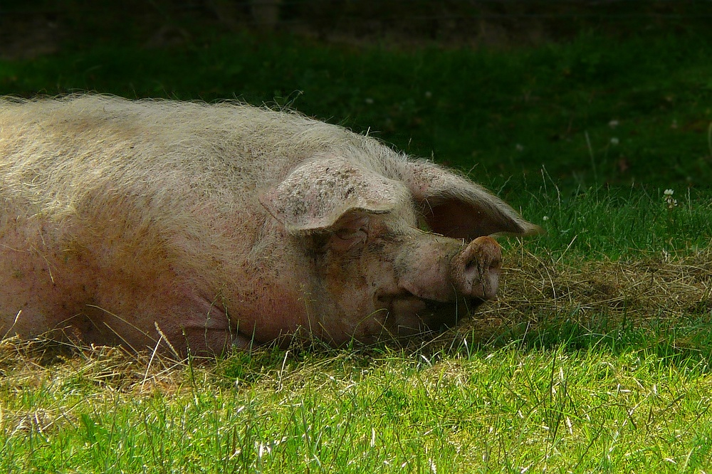 On the farm (4) : Domestic Pig