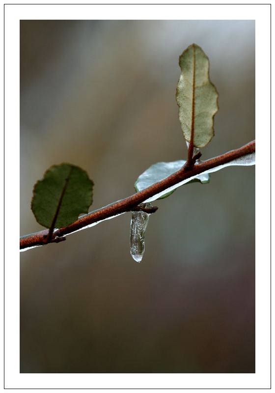 one icicle/two leaves