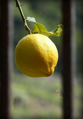 One lemon