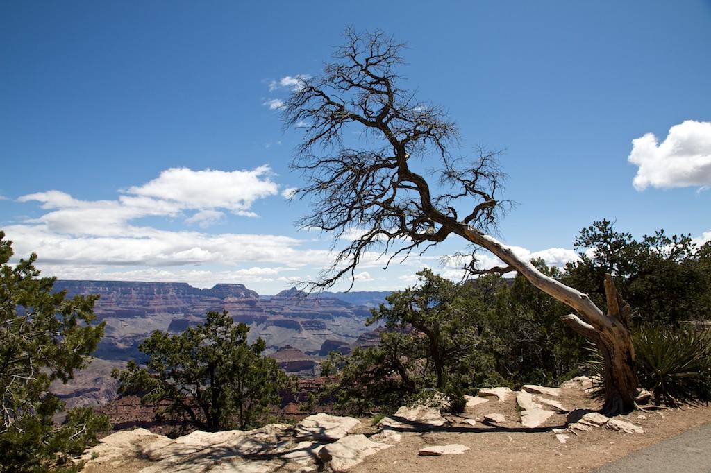 One more canyon tree