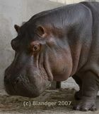 one more hippo