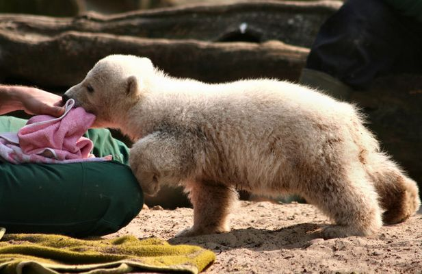 One more Knut