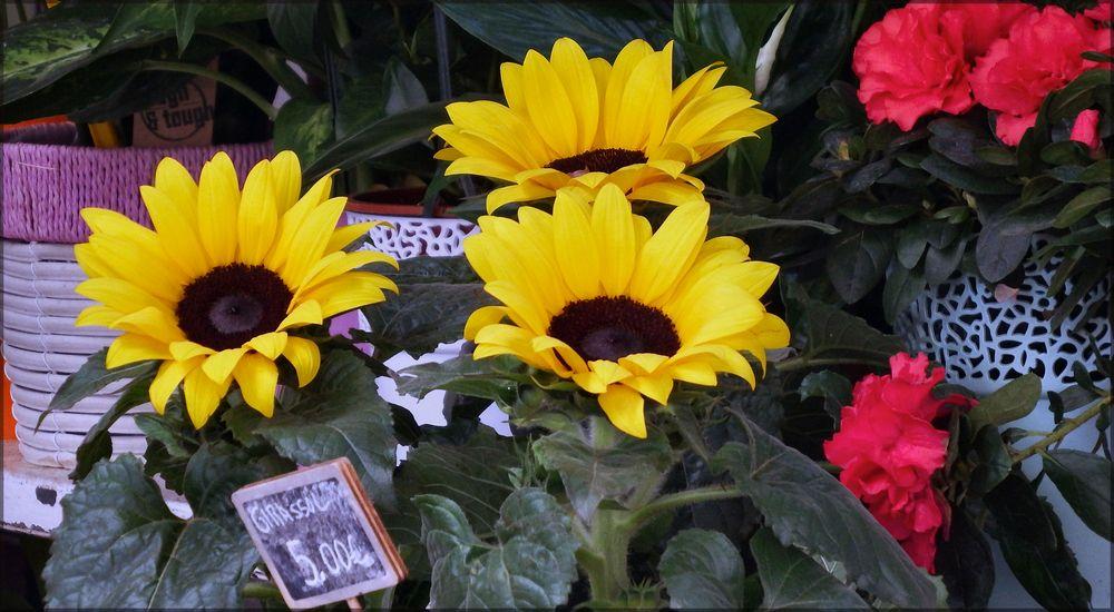 One sunflower 5€...oh my God!