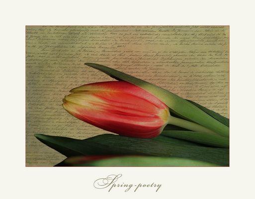 Only one tulip....
