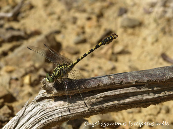 Onychogomphus forcipatus mâle