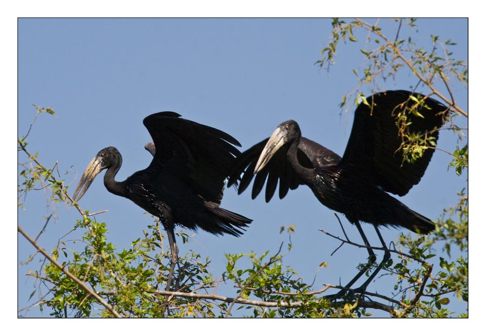Openbilled Stork #2