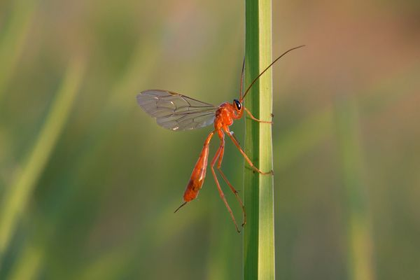 Ophion luteus