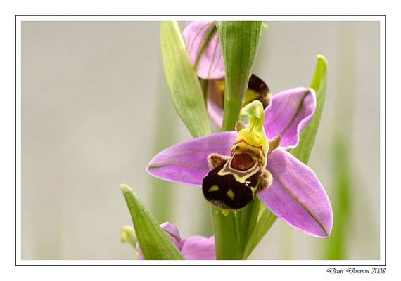 Ophrys Abeille (1)