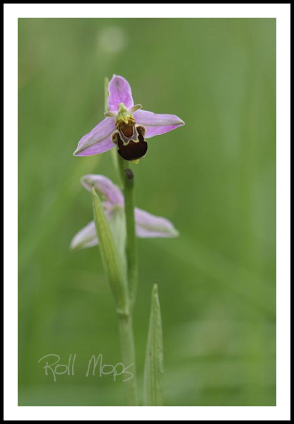 Ophrys abeille...