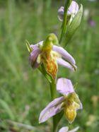 Ophrys apifera var.trolli am 13.Juni in einem NSG im Raum Trier