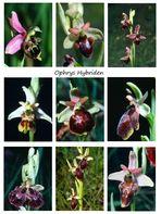 Ophrys Hybriden