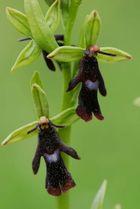 """Ophrys insectifera - 2 Einzel""""fliegen"""" der Fliegenorchis"""