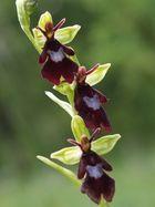 Ophrys insectifera, Fliegenragwurz