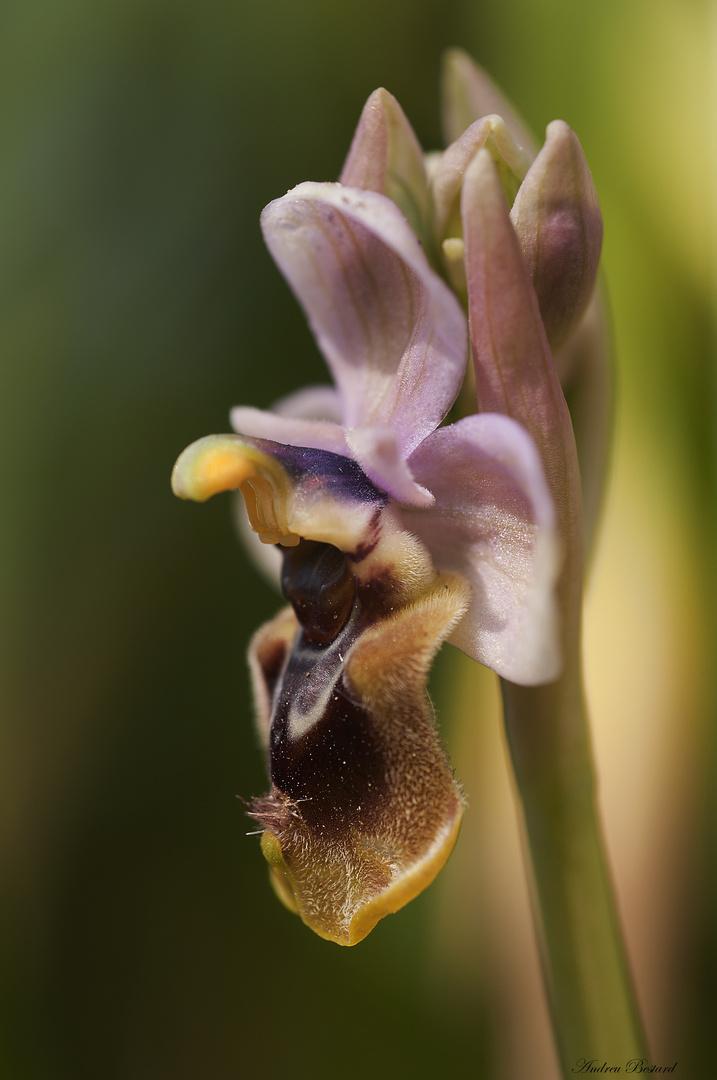 Ophrys tenthredinifera willd