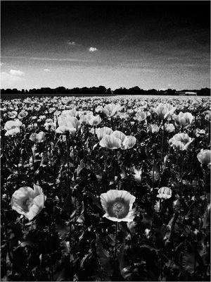 >Opium Poppy<
