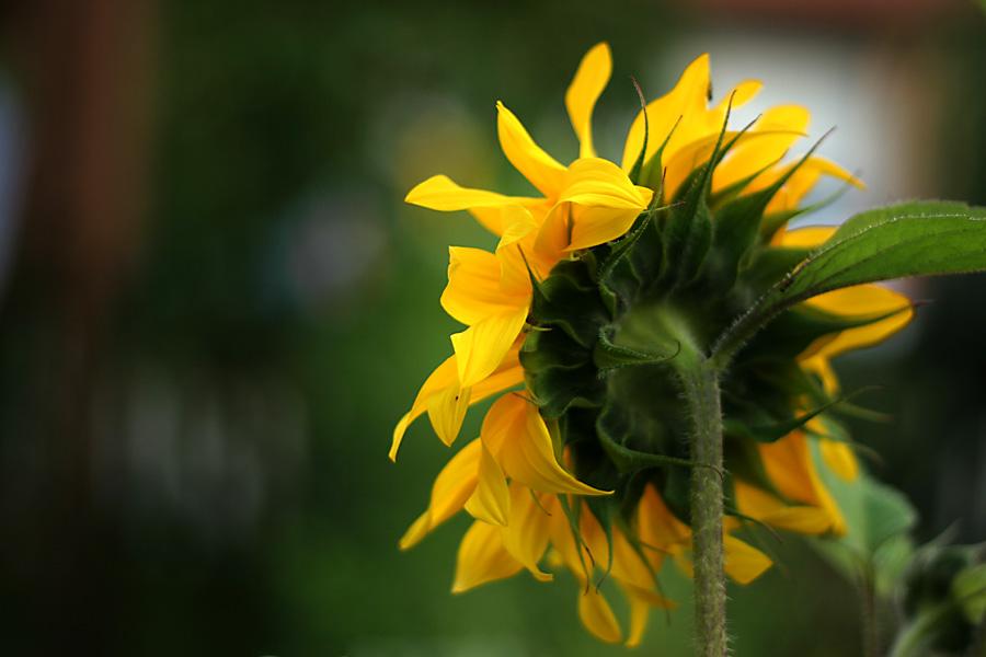 opposite sight of a sunflower