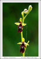 Oprhys insectifera...
