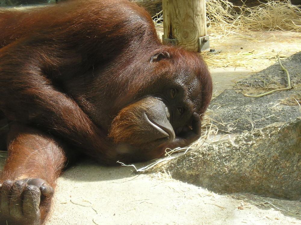 Orang-outan, Zoo de Beauval