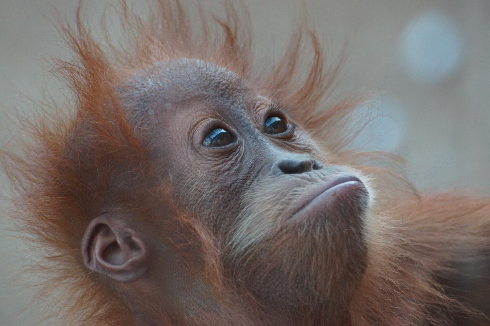Orang-Utan-Baby Awang in der Zoom Erlebniswelt