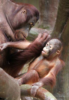 Orang-Utan-Baby Changi 1 - Serie -