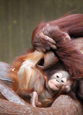 Orang-Utan-Baby Changi 3 - Serie -