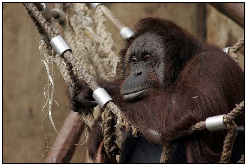 ORANG - UTAN // Erinnerungen an Borneo