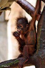 Orang-Utan-Junges - - Zoo Krefeld