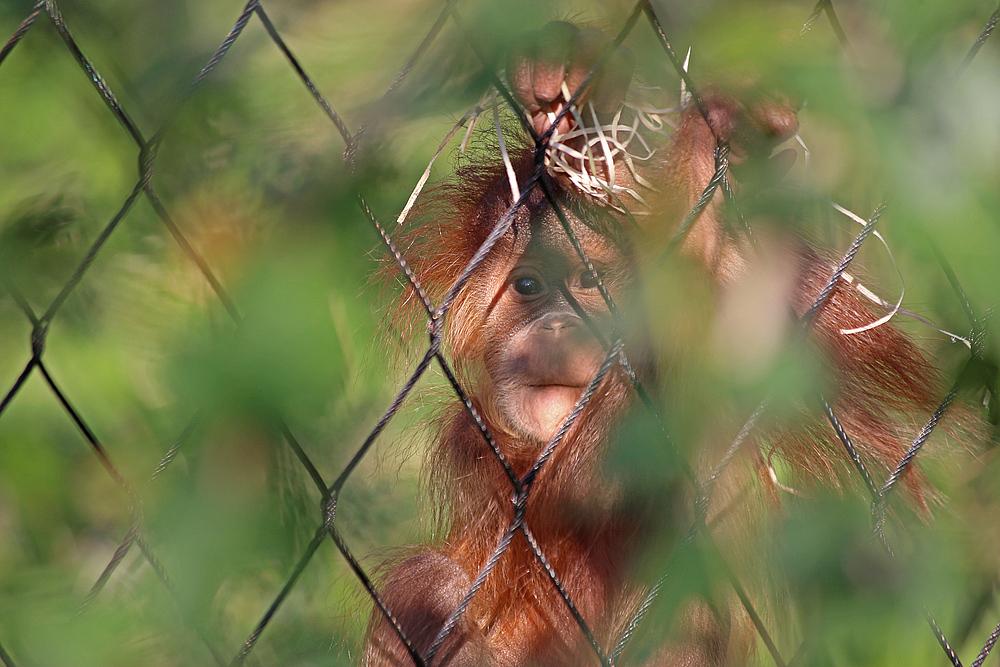 Orang Utan Mädchen Ketawa im Basler Zoo