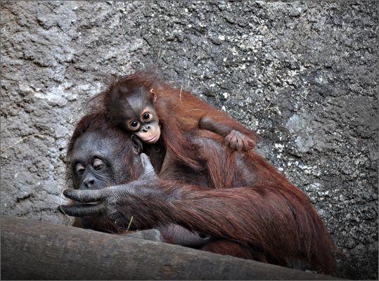 """Orang-Utan-Mutter mit ihrem Baby """"Niah"""""""