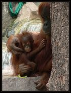 Orang Utan - Mutter mit Kind