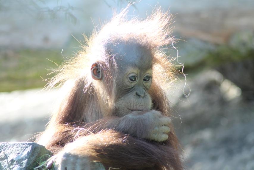 Orang Uthan Baby im Zoo NK
