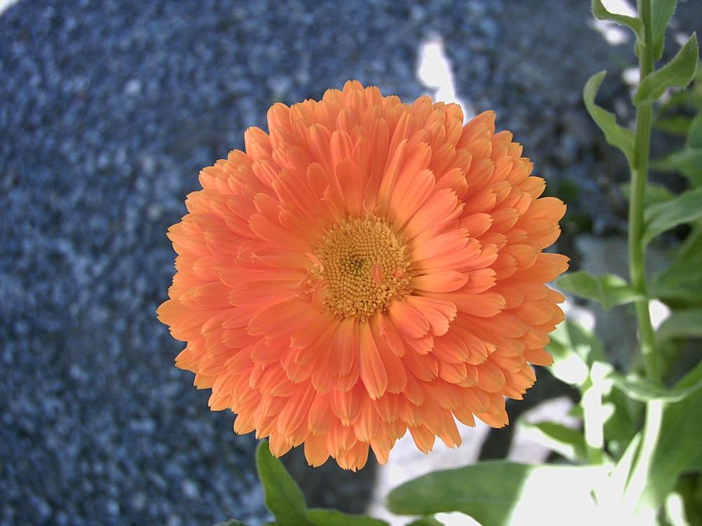 orange Blume im Garten