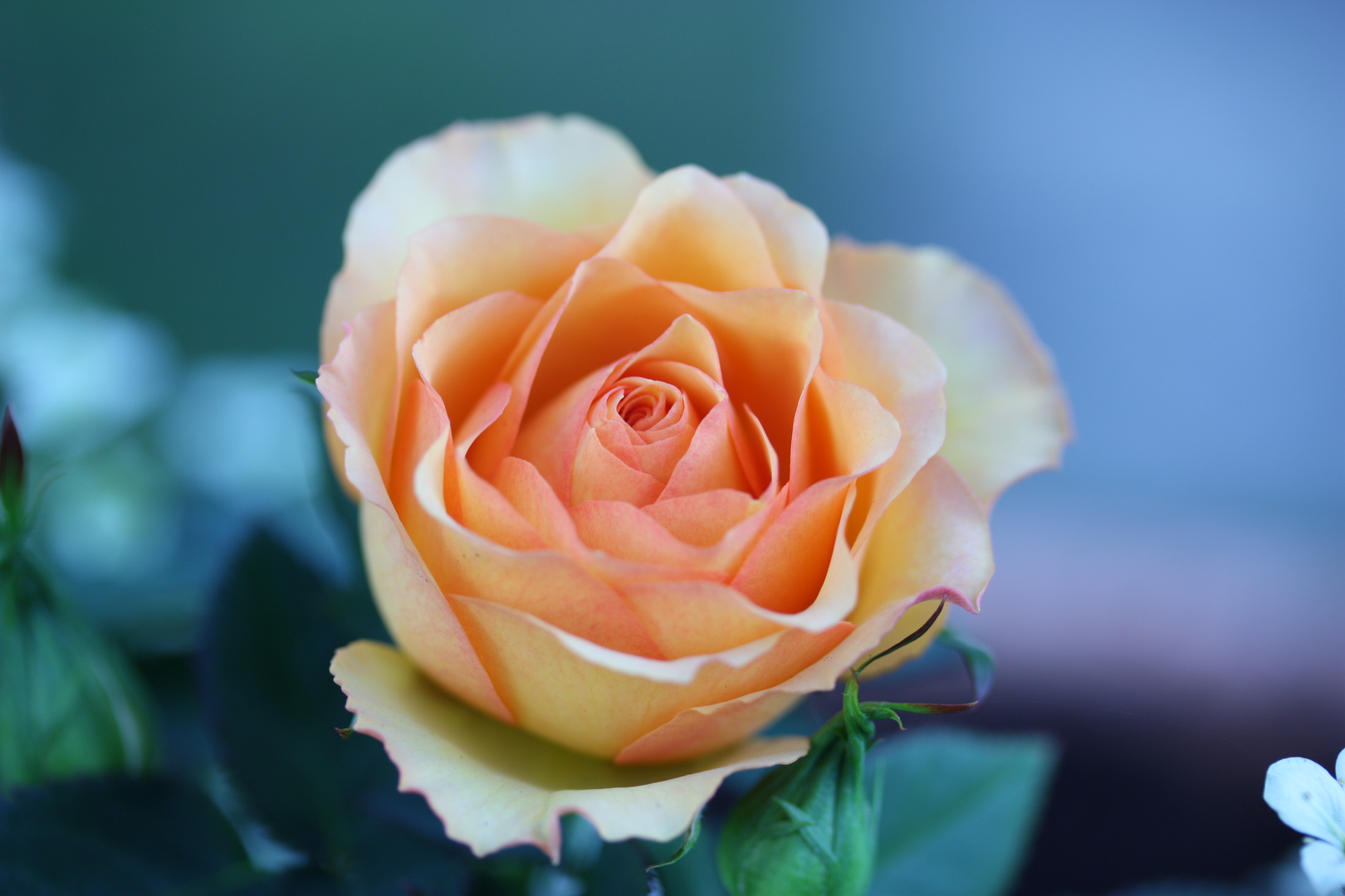 Orange-gelbe Rosen