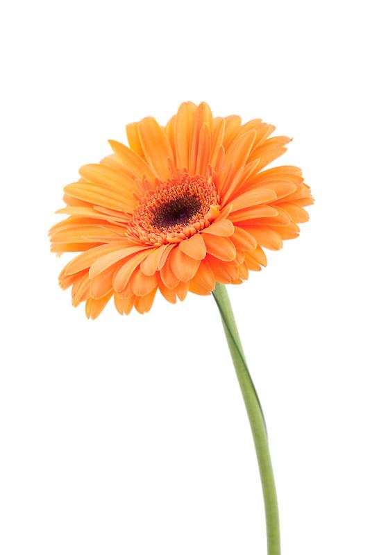 orange gerbera ii foto bild pflanzen pilze flechten bl ten kleinpflanzen gerbera. Black Bedroom Furniture Sets. Home Design Ideas