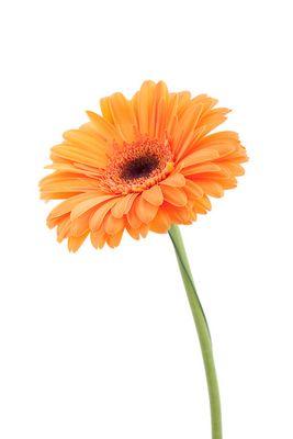 orange Gerbera II