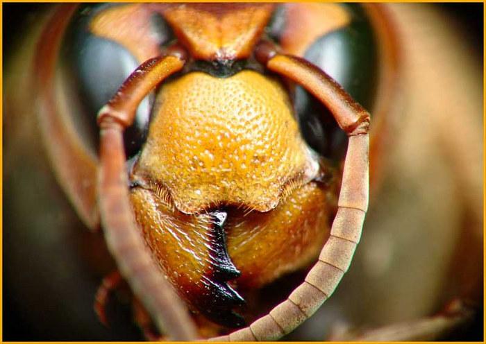 Orange Hornet Head (Vespa crabro)