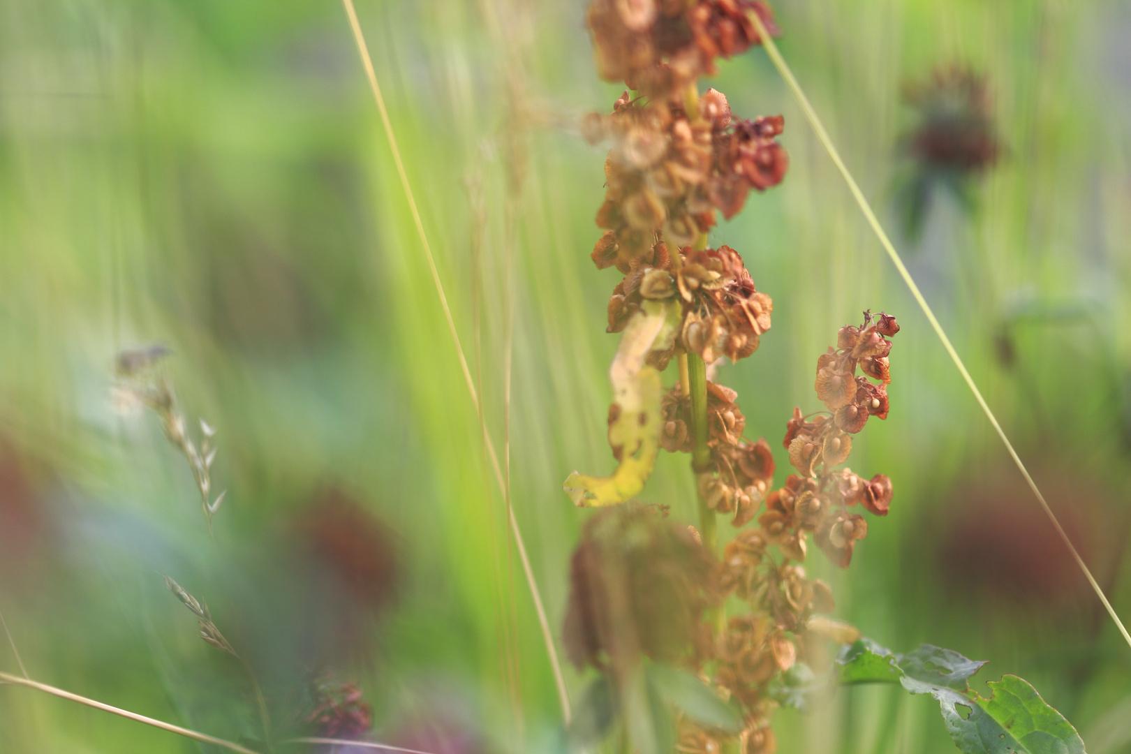 Orange kernige Wildpflanze - Blütenstand des Sauerampfers