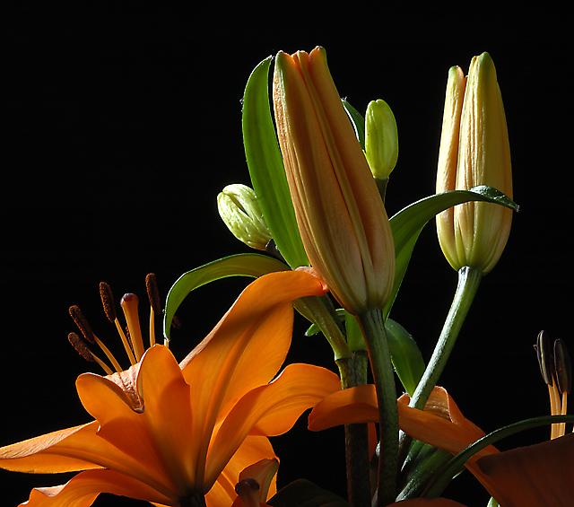Orange Lilium #2
