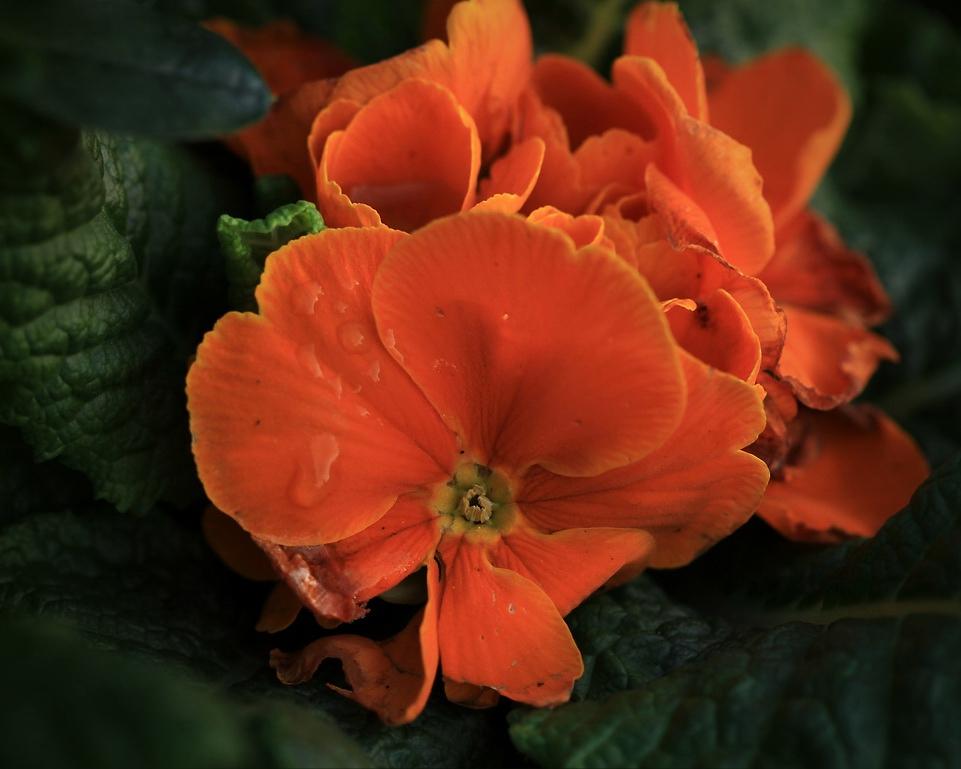 Orange Primelblüte*