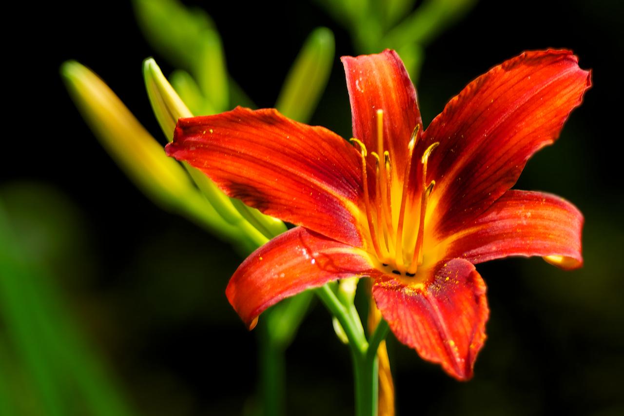 orange rote lilie foto bild pflanzen pilze flechten bl ten kleinpflanzen iris und. Black Bedroom Furniture Sets. Home Design Ideas