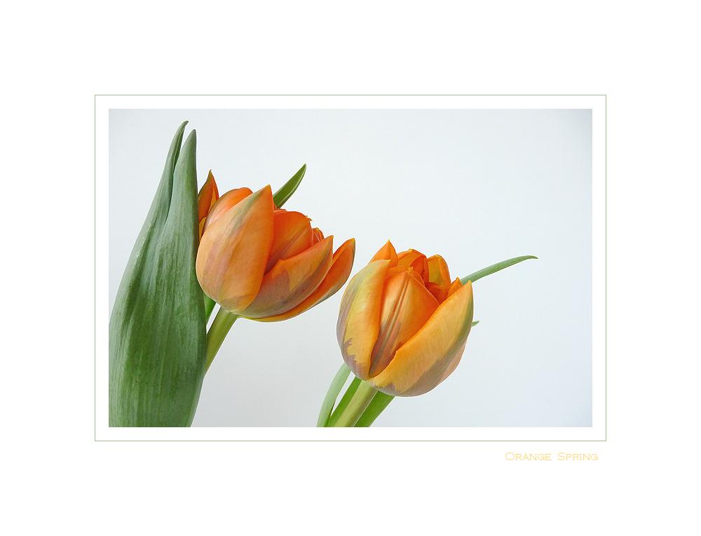 . orange spring .